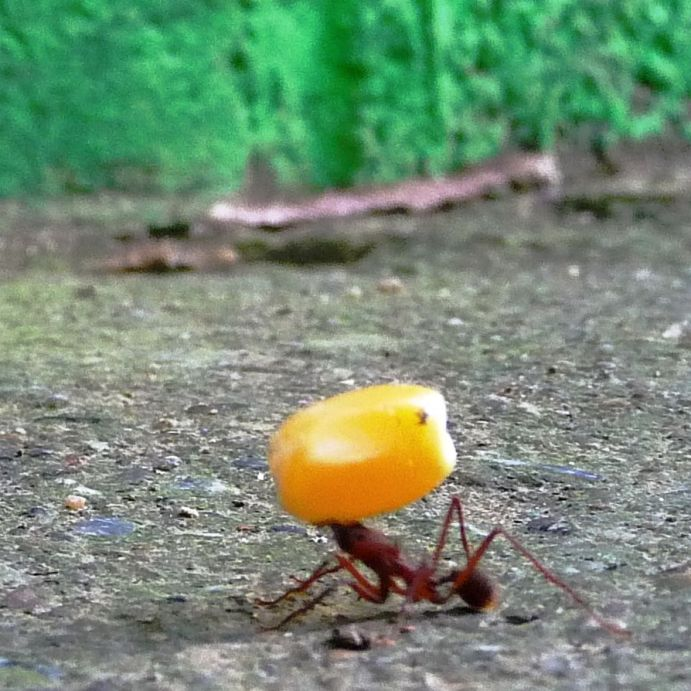 ant carrying maiscorn and almost collapsing