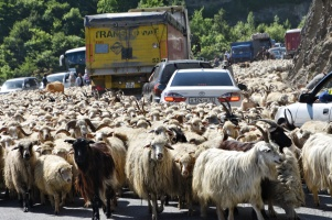Schafe und Ziegen haben ganz einfach den Military Highway lahmgelegt