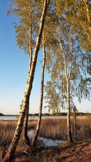 sibirische Palmen