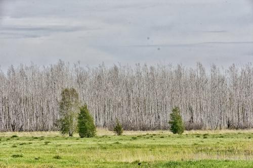 Birken ohne Laub