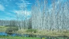 Birken ohne Blätter