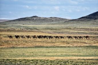 Karawane in der grünen Gobi