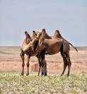 auch Kamele brauchen ihre Kuscheleinheiten