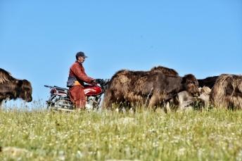 die Yaks ins Grüne bringen