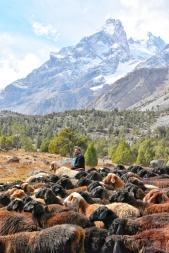 die Schafe werden über einen 4000er Pass auf die andere Seite getrieben