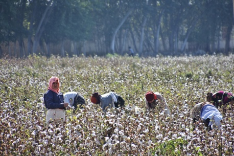 die berühmt berüchtigte Baumwollernte in Usbekistan