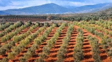 Olivenbaum Monokultur