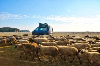 Bussi wird von Schafen überrollt