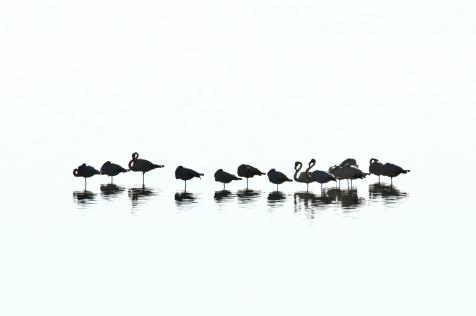 Flamingos in Griechenland. allerdings in Schwarzweiss